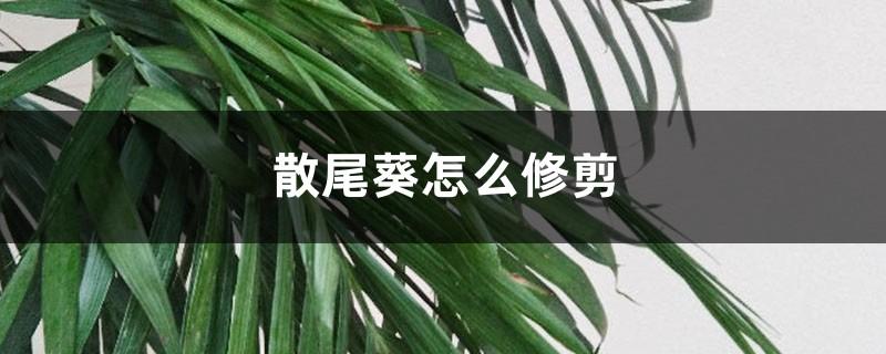 散尾葵怎么修剪