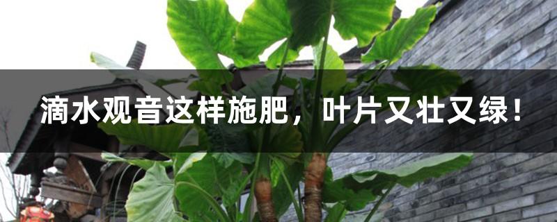 滴水观音这样施肥,叶片又壮又绿!
