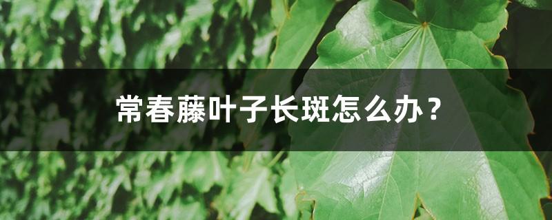 常春藤叶子长斑怎么办?