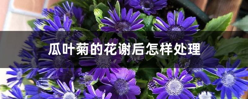 瓜叶菊的花谢后怎样处理