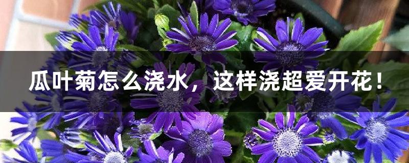 瓜叶菊怎么浇水,这样浇超爱开花!