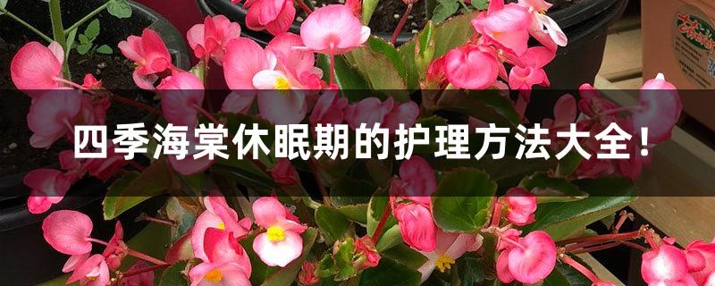四季海棠休眠期的护理方法大全!