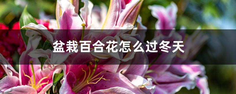 盆栽百合花怎么过冬天