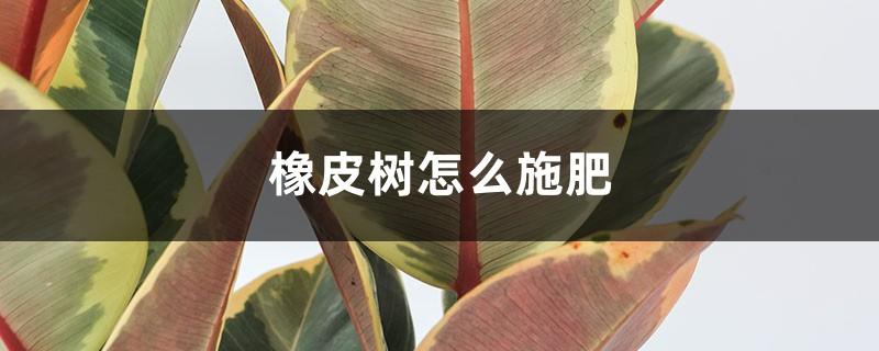 橡皮树怎么施肥