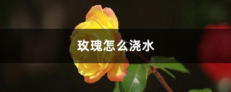 玫瑰怎么浇水