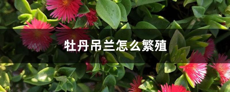 牡丹吊兰怎么繁殖