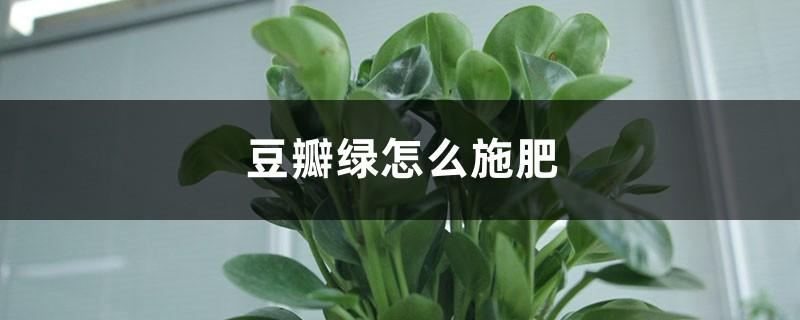 豆瓣绿怎么施肥?