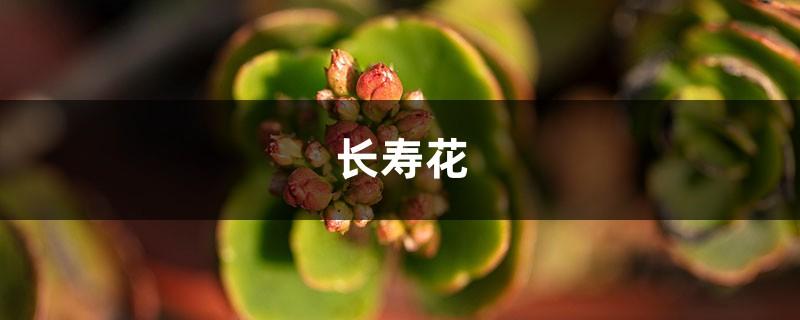 养长寿花注意这5点,才能长命百岁,开成大花球!