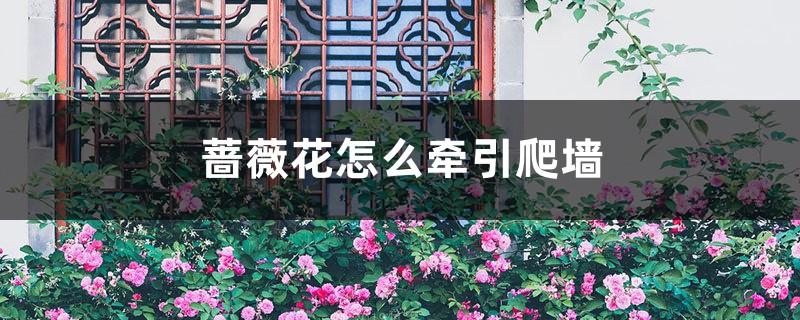 蔷薇花怎么牵引爬墙