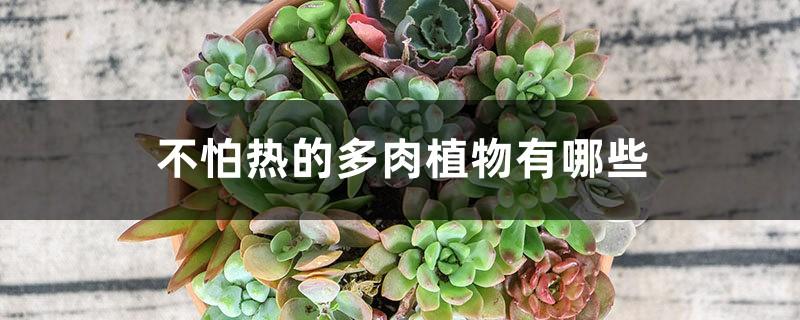 几种不怕热的多肉植物