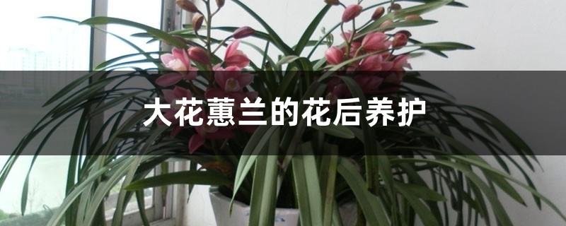 大花蕙兰的花后养护