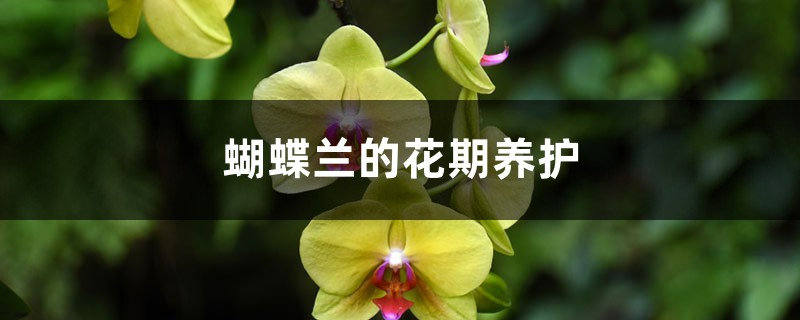 蝴蝶兰的花期养护