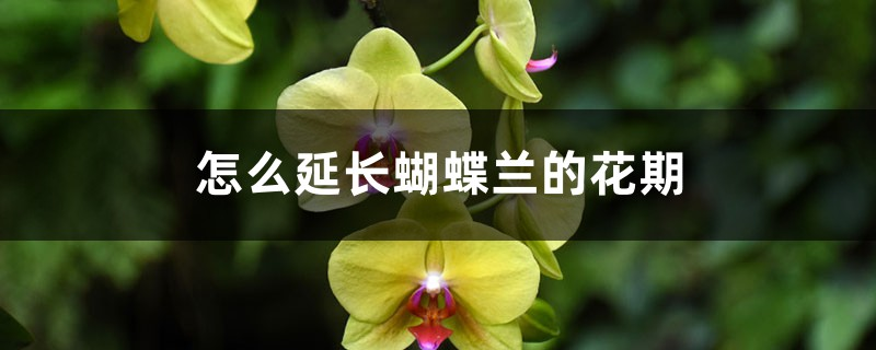 怎么延长蝴蝶兰的花期