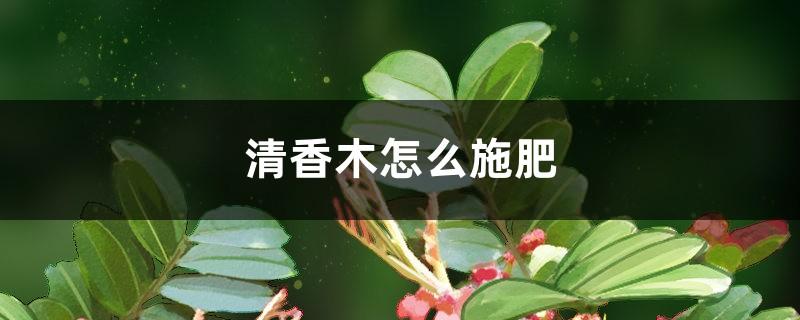 清香木怎么施肥