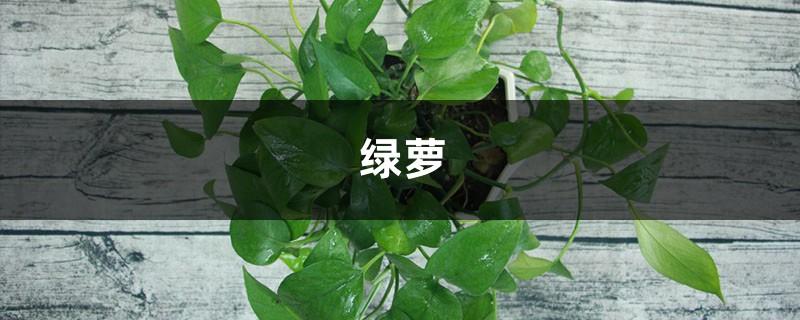 绿萝叶子居然有10个巴掌大,快看人家是怎么养的!
