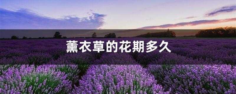 薰衣草的花期多久