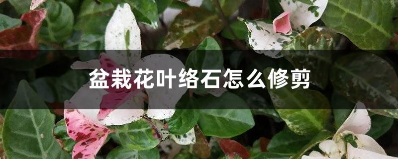 盆栽花叶络石怎么修剪
