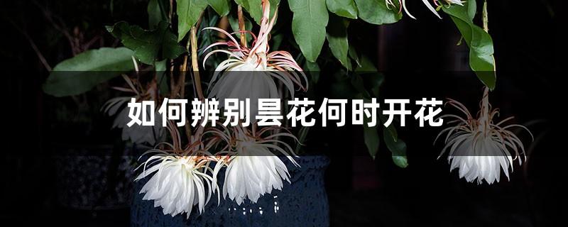 如何辨别昙花何时开花