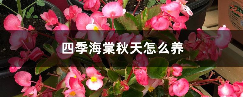 四季海棠秋天怎么养