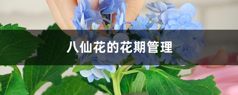 八仙花的花期管理
