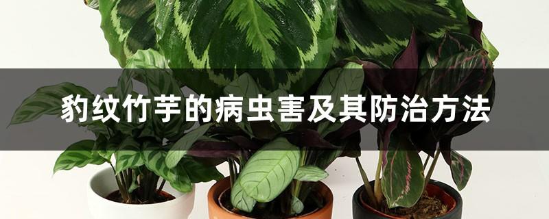 豹纹竹芋的病虫害及其防治