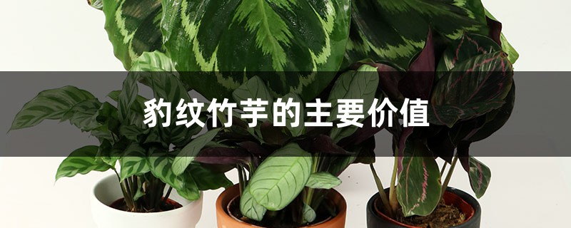 豹纹竹芋的主要价值