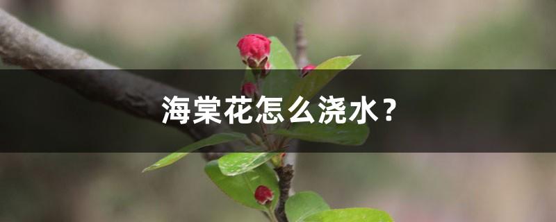 海棠花怎么浇水?