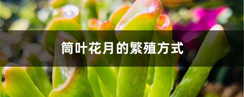 筒叶花月的繁殖方式