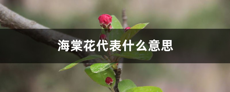 海棠花代表什么意思