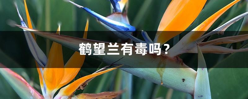 鹤望兰有毒吗?