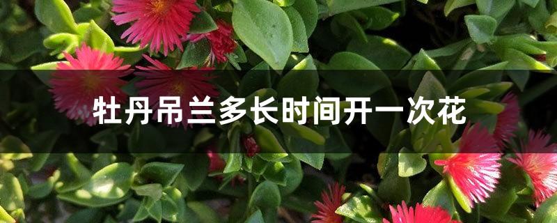 牡丹吊兰多长时间开一次花