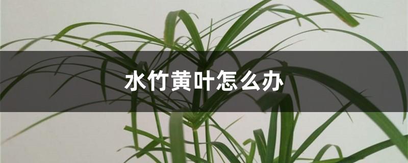 水竹黄叶怎么办