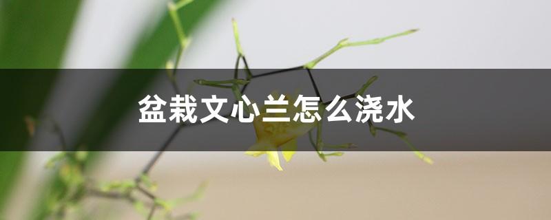 盆栽文心兰怎么浇水