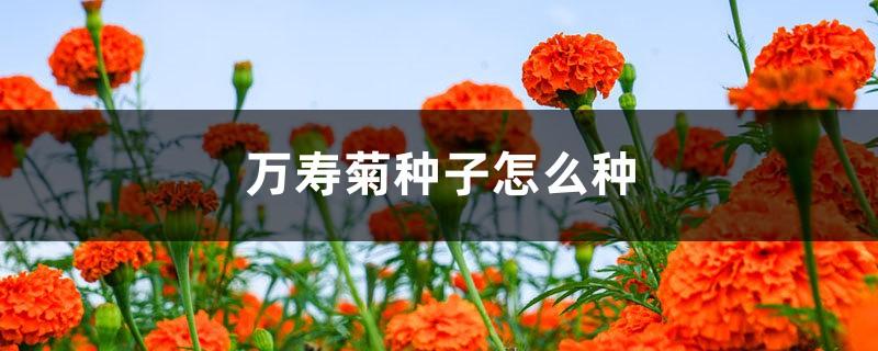 万寿菊种子怎么种