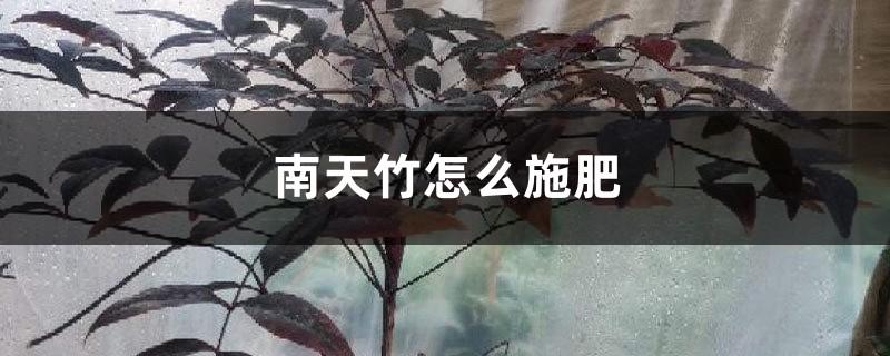 南天竹怎么施肥