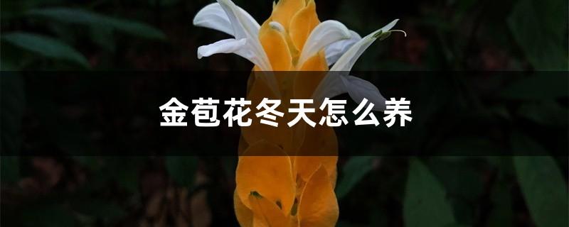 金苞花冬天怎么养