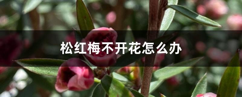 松红梅不开花怎么办