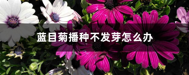 蓝目菊播种不发芽怎么办