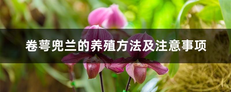 卷萼兜兰的养殖方法及注意事项