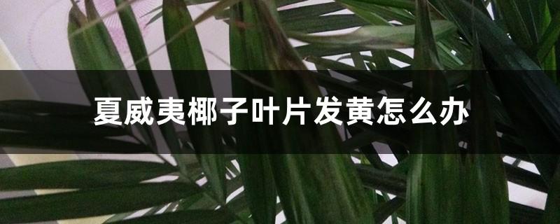 夏威夷椰子叶片发黄怎么办