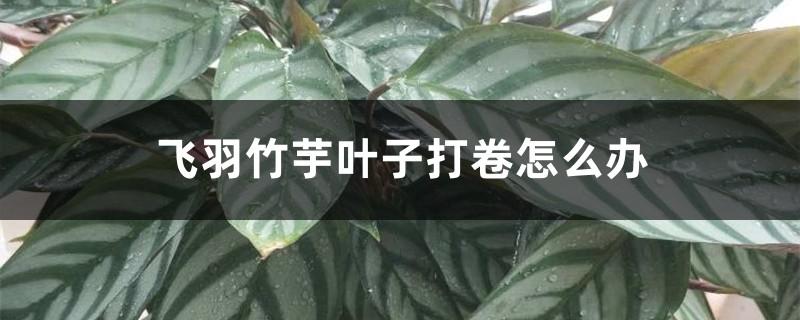 飞羽竹芋叶子打卷怎么办
