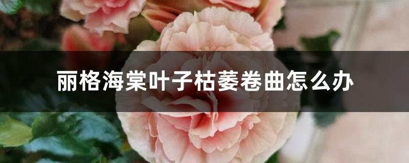 丽格海棠叶子枯萎卷曲怎么办