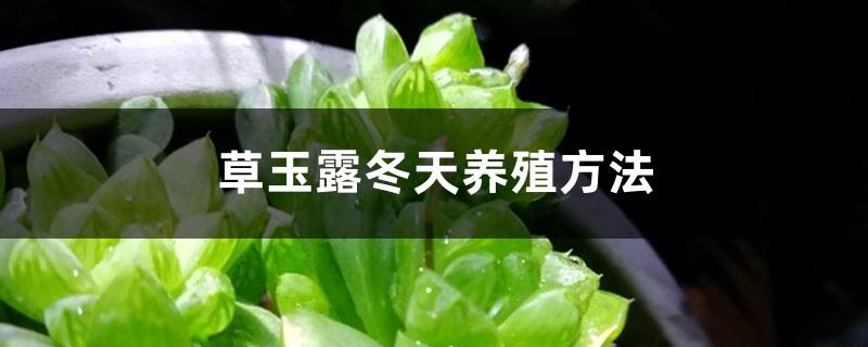 草玉露冬天养殖方法