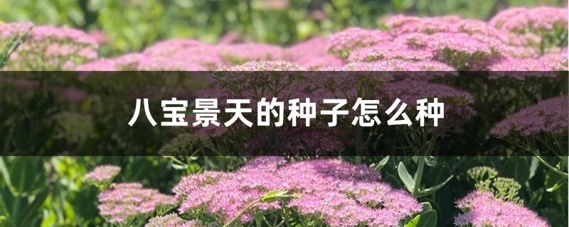 八宝景天的种子怎么种