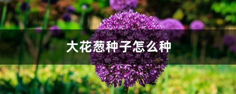 大花葱种子怎么种
