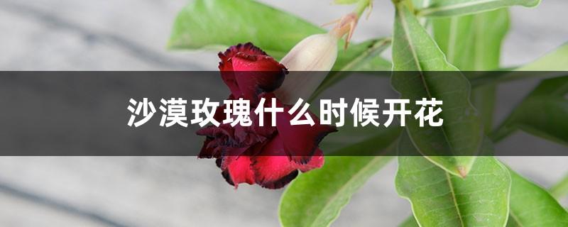 沙漠玫瑰什么时候开花