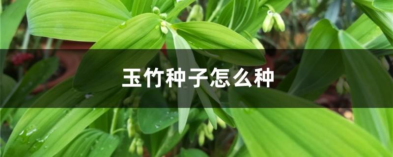 玉竹种子怎么种