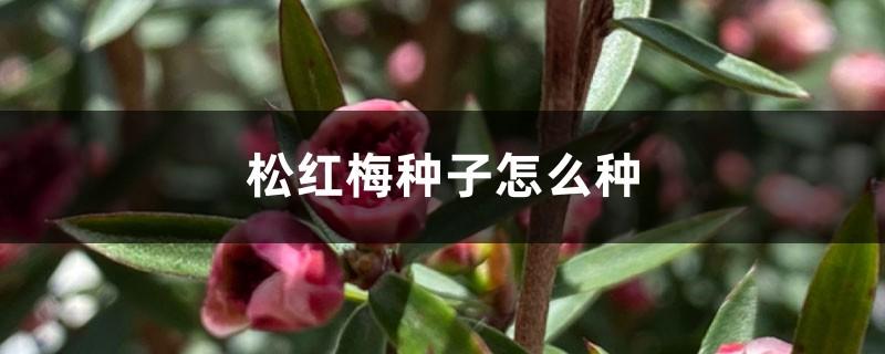 松红梅种子怎么种