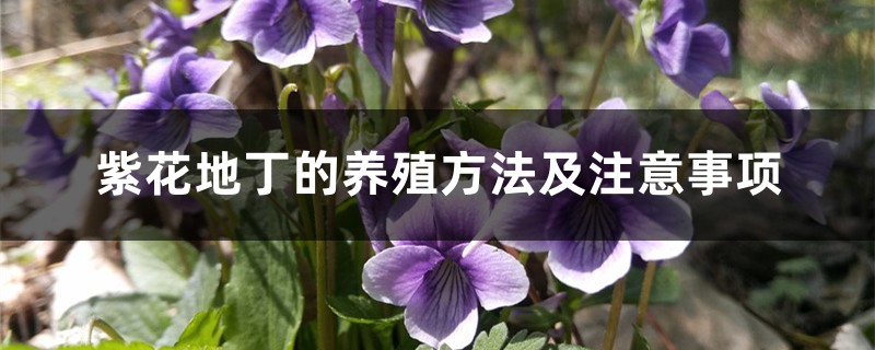 紫花地丁的养殖方法及注意事项