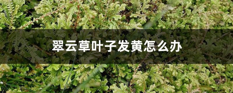 翠云草叶子发黄怎么办